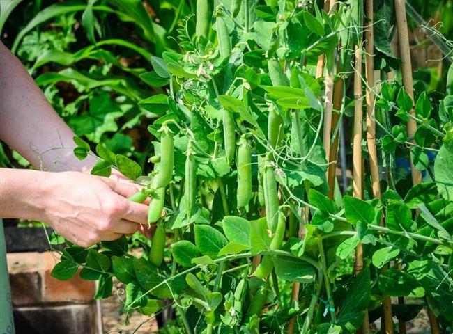 Видео: выращивание гороха