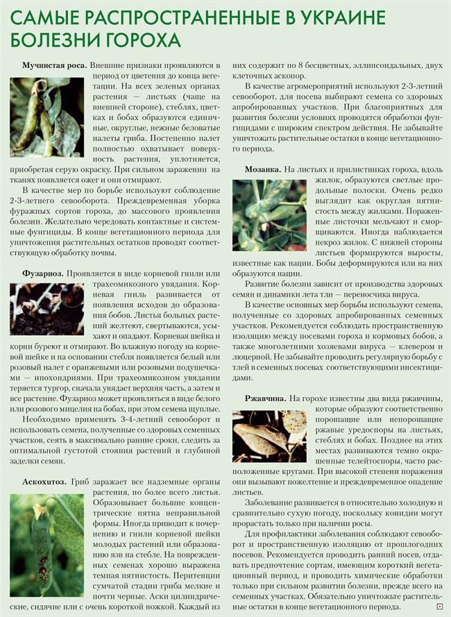 Заболевания гороха и вредные насекомые, уход и помощь растению
