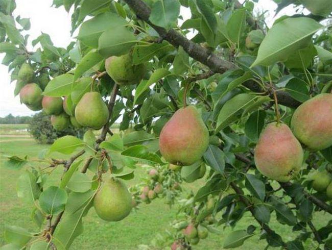 Отзывы садоводов о груше Велеса