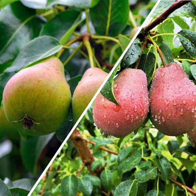 Отзывы садоводов о груше Любимица Яковлева