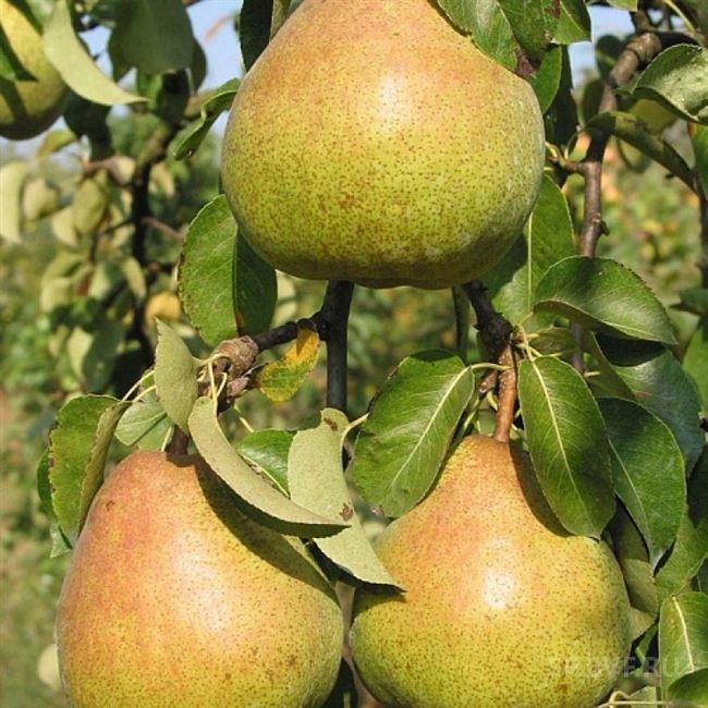 Характеристика деревьев и плодов