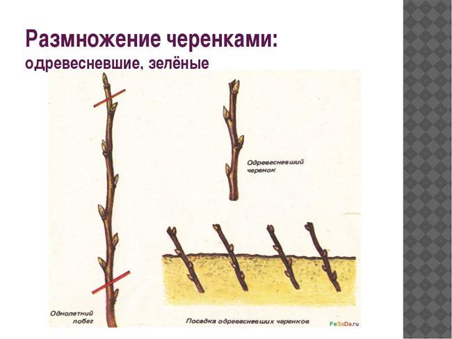 Как происходит размножение зелеными черенками