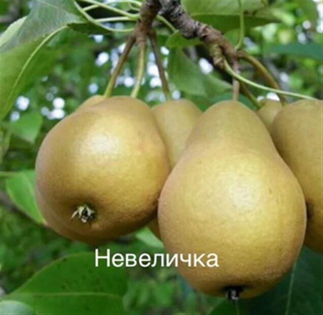Описание сорта груши Невеличка (Дюймовочка)