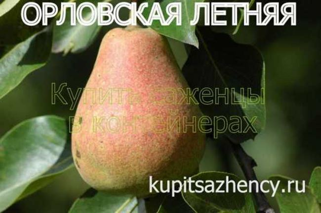 Груша Орловская летняя- описание, хранение, фото