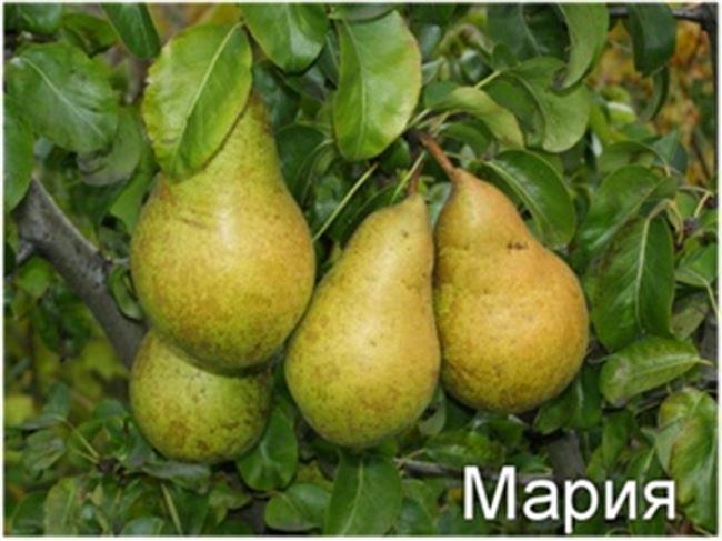 Сорт груши Просто Мария – характеристика и описание, отзывы садоводов, фото