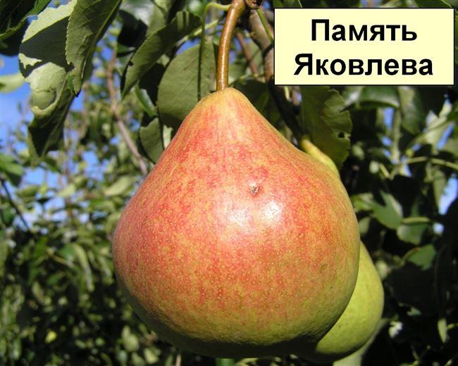 Отзывы садоводов о груше Памяти Яковлева
