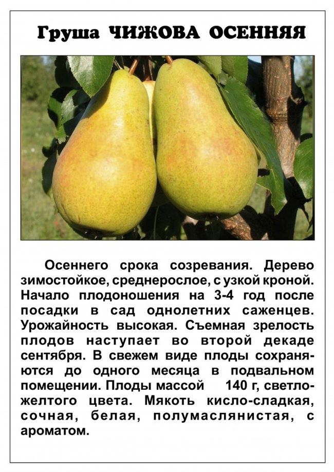 Посадка груши Первомайской
