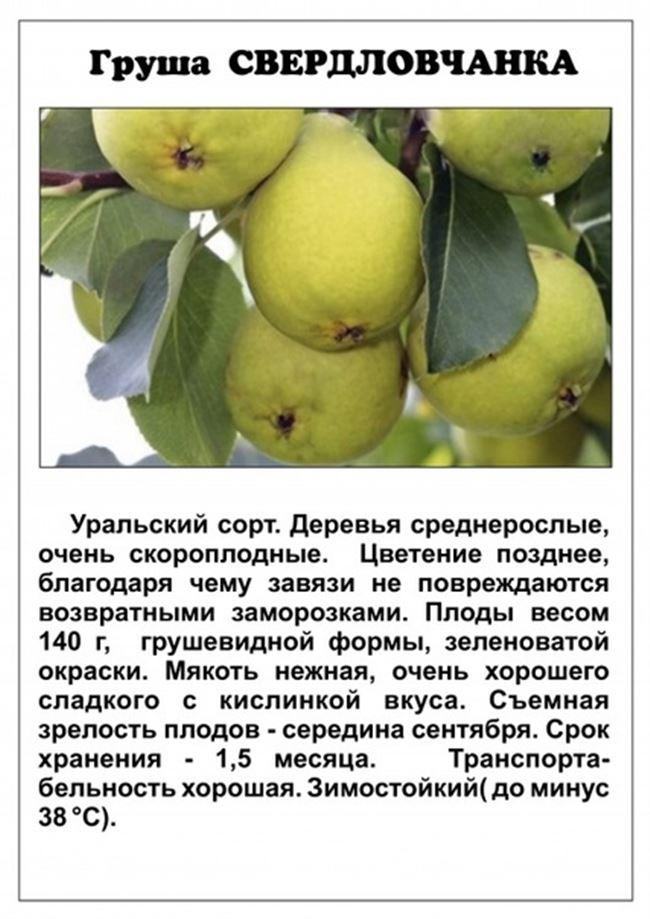 Плюсы и минусы сорта груши «Свердловчанка»