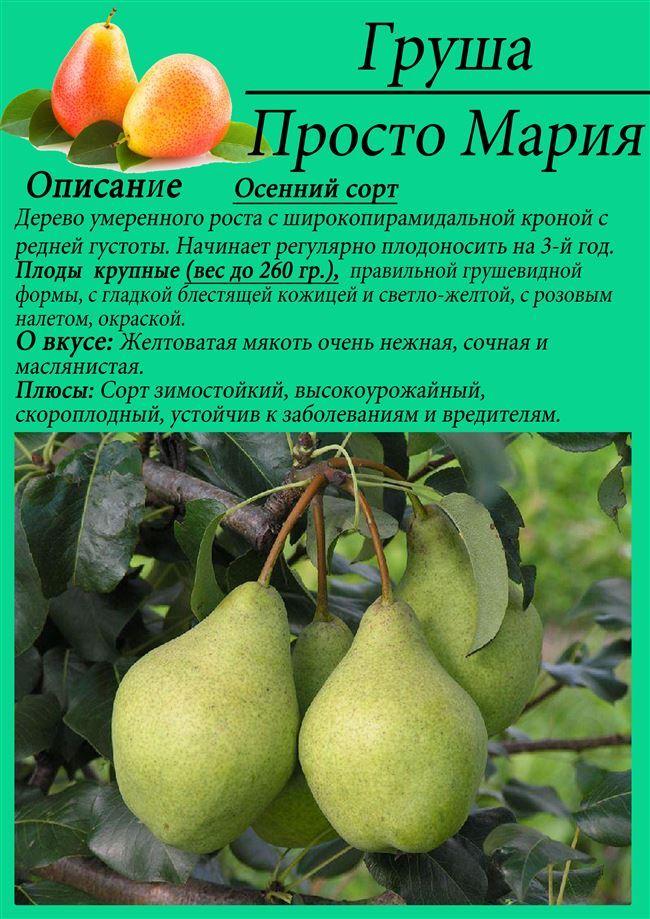 Груша февральский сувенир описание фото и отзывы фрукты ягоды