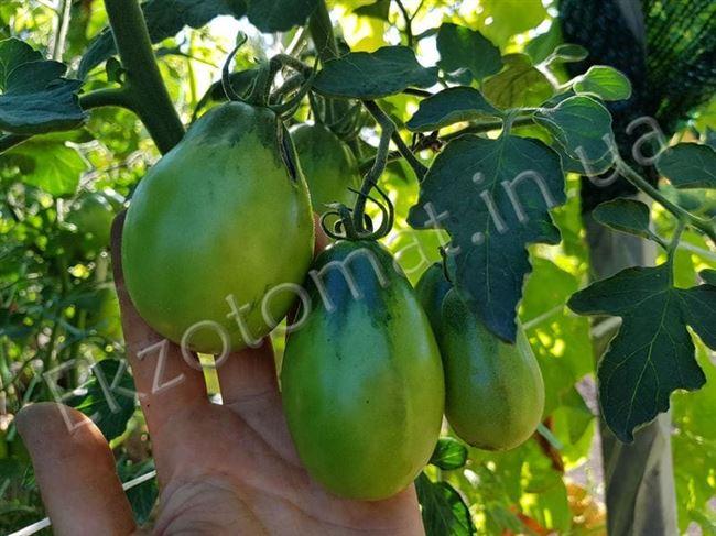 Описание и характеристика сорта томата Изумрудная груша, отзывы, фото