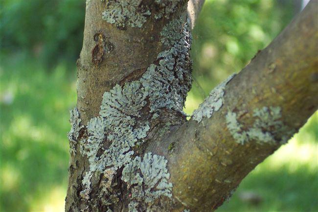 Болезни ствола яблонь и их лечение