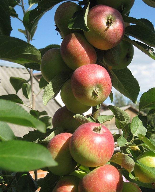 Плюсы и минусы сорта яблони Елена