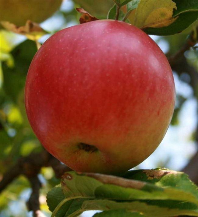 Достоинства и недостатки яблони