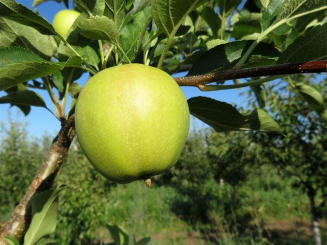 Болезни и вредители яблок