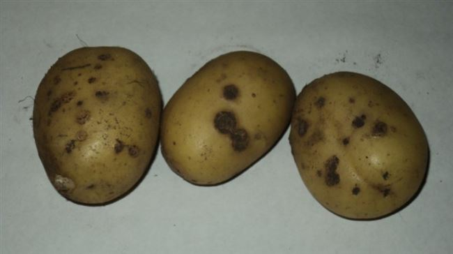 Сорта картофеля, устойчивые к парше