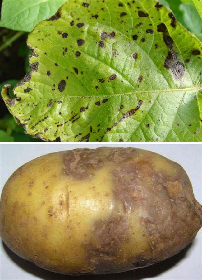Причины появления вредителей в картофеле