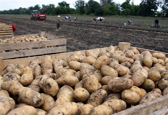 Сбор и хранение урожая