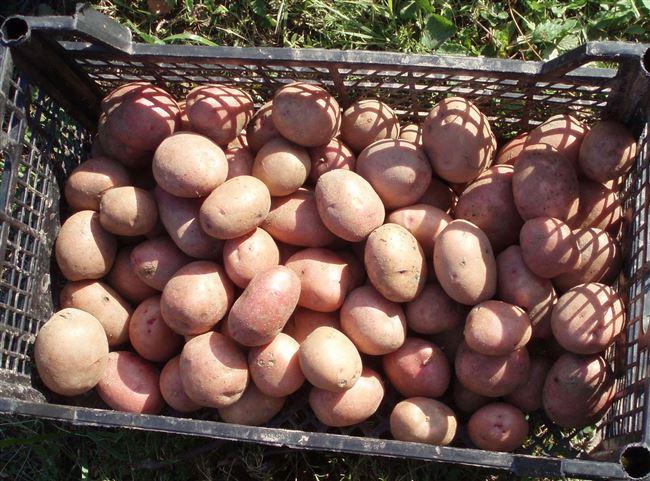 Выращивание - сбор урожая: