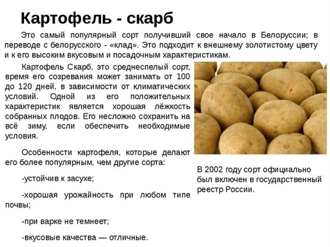 Картофель Сифра - описание сорта