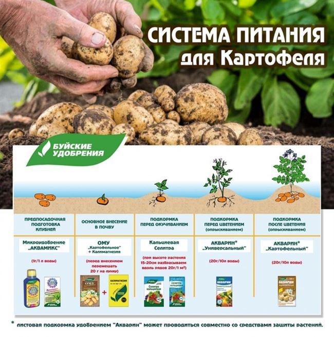 Эффективные народные средства для подкормки картофеля