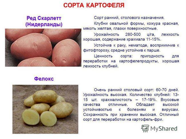 Картофель описание сорта. Классификация картофеля по срокам созревания: