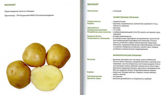 Среднеспелые сорта картофеля с подробным описанием