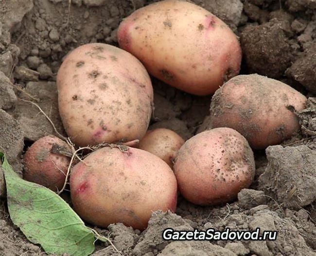 Посадка и уход за картофелем Весна