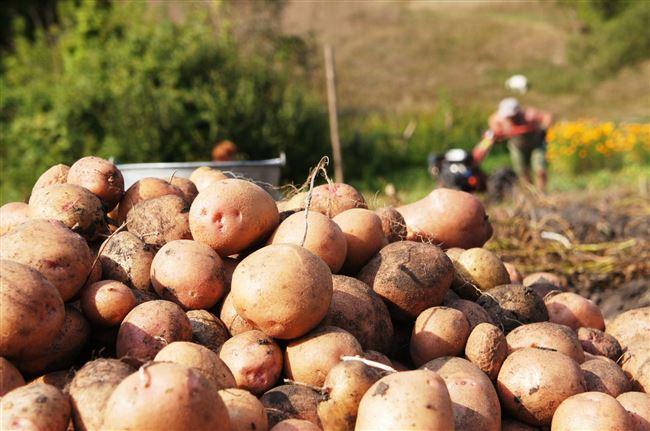 Уборка и хранение урожая