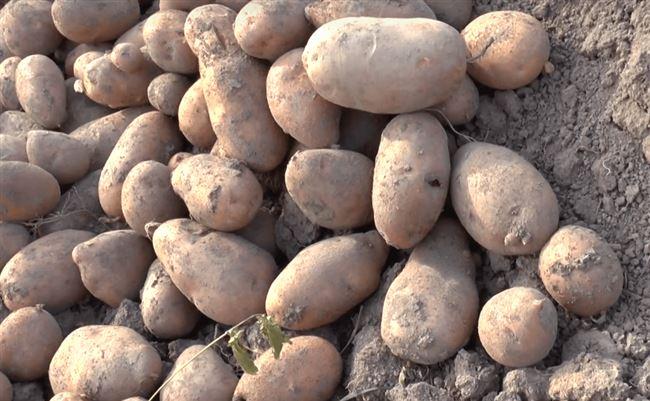 Сбор сорта картофеля Латона и хранение урожая