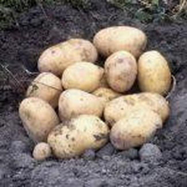 1 отзыв на Семенной картофель Воларе, Голландия
