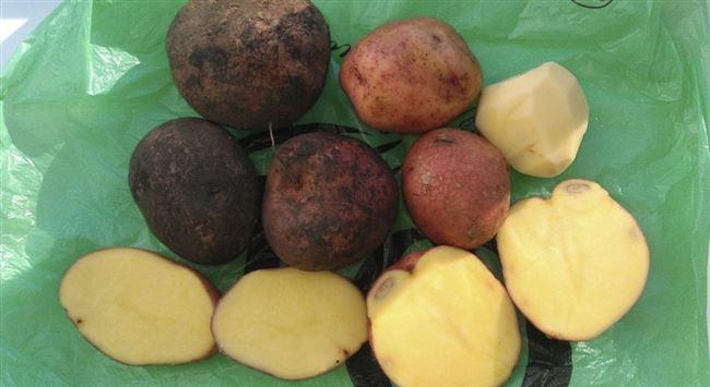 Фотогалерея: что может помешать картофелю Журавинка