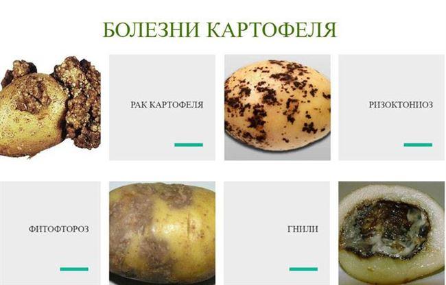Таблица: болезни картофеля, проявляющиеся при неправильного хранения