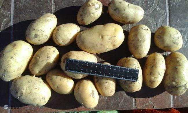 Посадка и уход за картофелем Коломбо