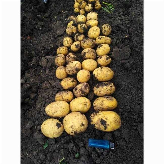 Отзывы картофелеводов