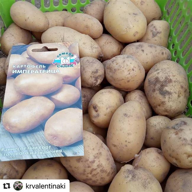 Подробное описание сорта картофеля Императрица
