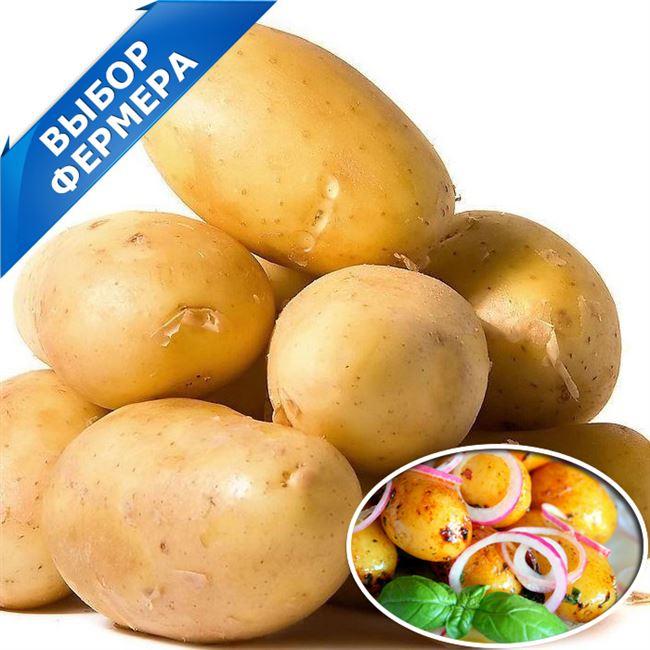 Картофель сорта «Леди Клер»