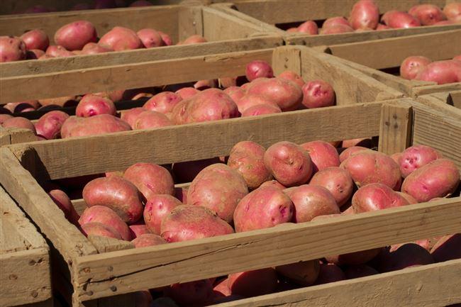 Хранение картофеля в ямах