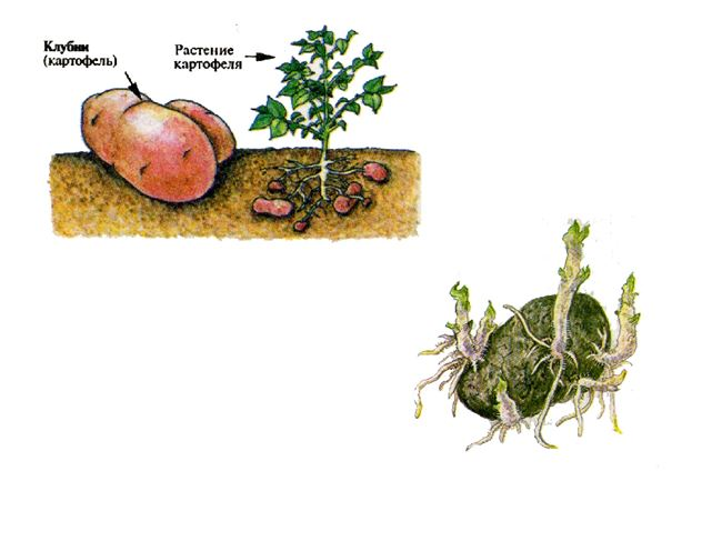 Размножение картофеля клубнями