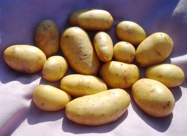Сорт картофеля «Королле (Corolle)» – описание и фото