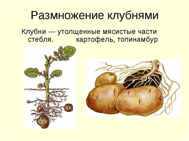 Размножение картофеля частями и глазками