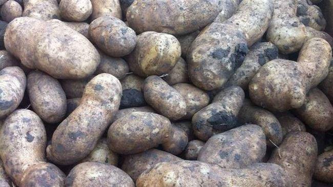 Картофель инноватор характеристика сорта отзывы