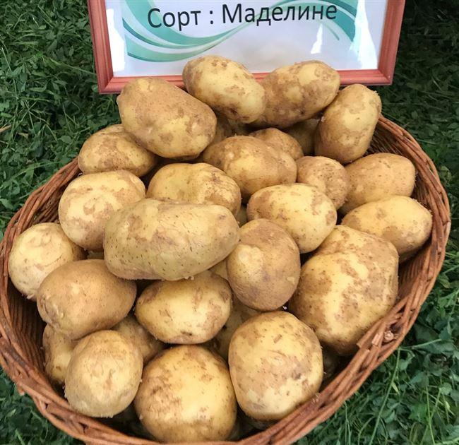 Описание сорта картофеля Маделина