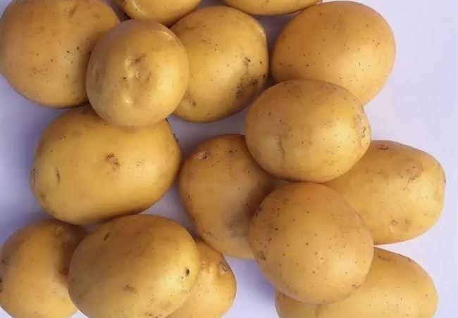 Посадка и выращивание картофеля сорта Мадейра