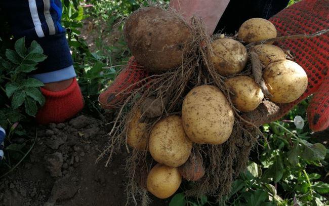 Посадка и уход за картофелем Банба