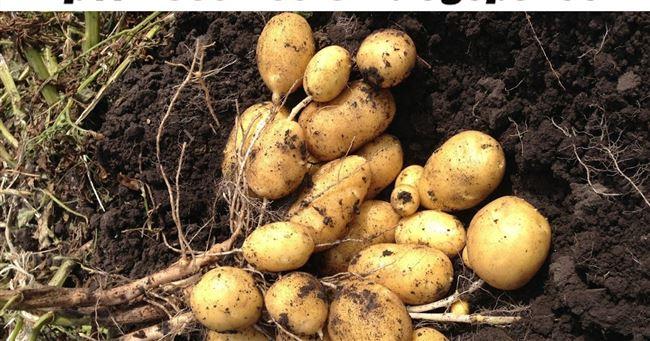 Классические способы посадки картофеля