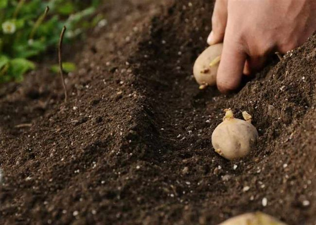 Альтернативные способы посадки картофеля
