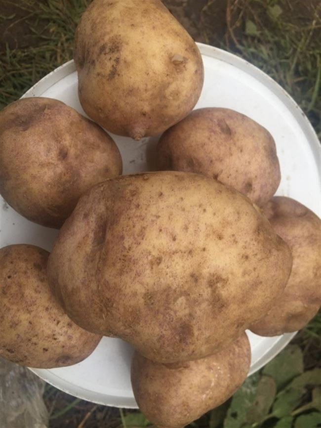Посадка и уход за картофелем Синеглазка