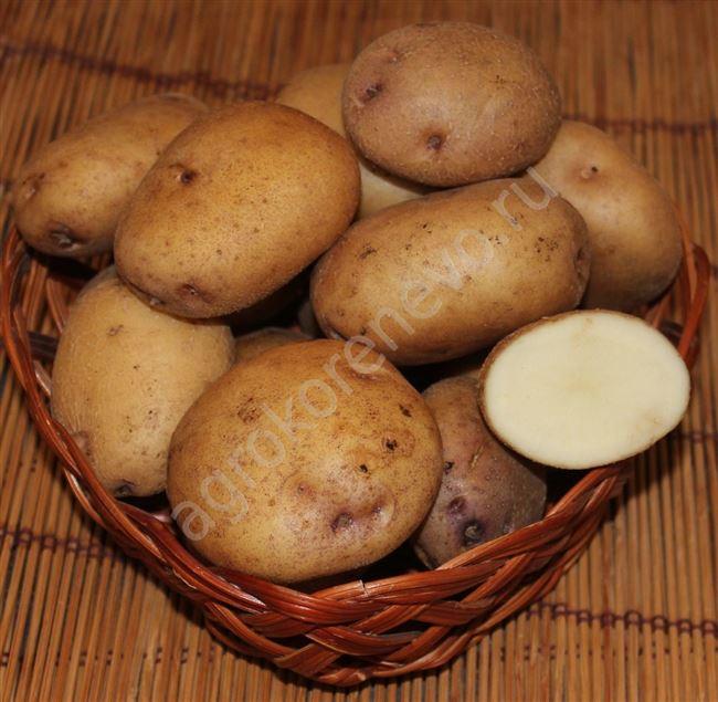 Плюсы и минусы сорта картошки Синеглазка