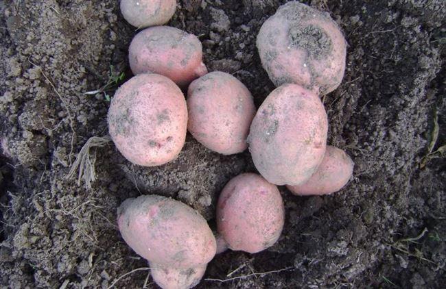 Описание сорта картошки Радонежский — как выращивать?
