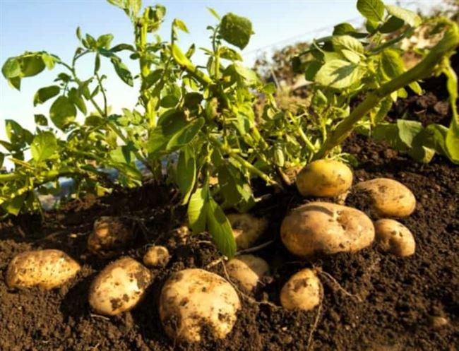 Посадка и выращивание картофеля сорта Радонежский